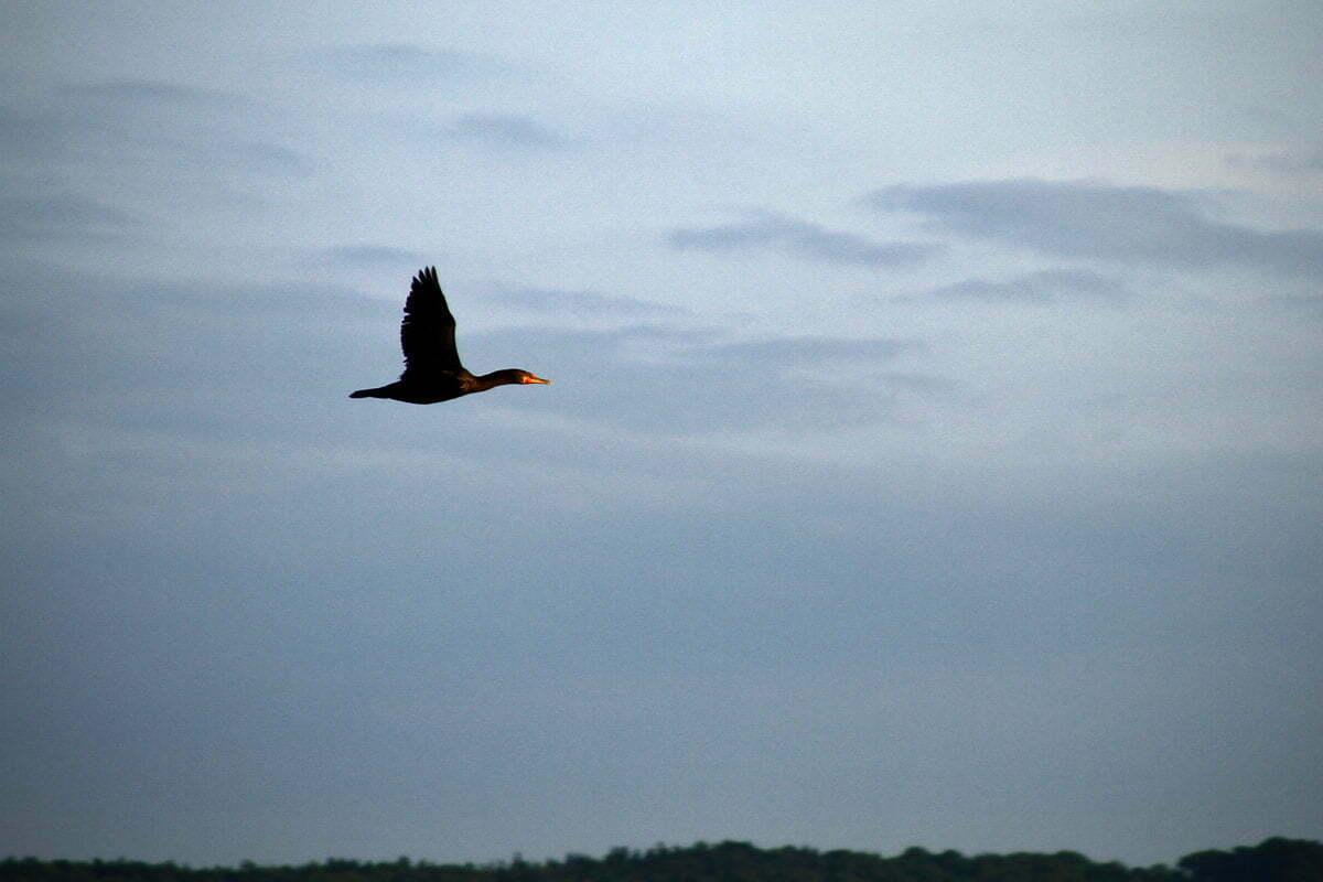 A black Cormorant with an orange beak flies off the coast of Maine.