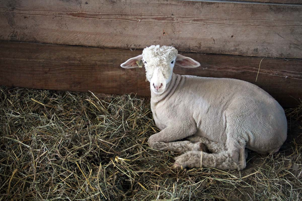 A sheep sits in a hay filled pen after getting its coat cut.
