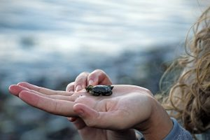 A woman holds a small crab found on the Maine shore in her hand.