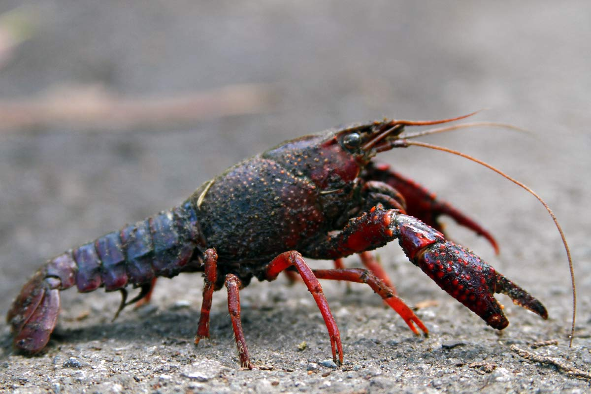 A red crayfish (crawfish, crawdad, freshwater lobster or mudbug) seen from the side on the sidewalk.
