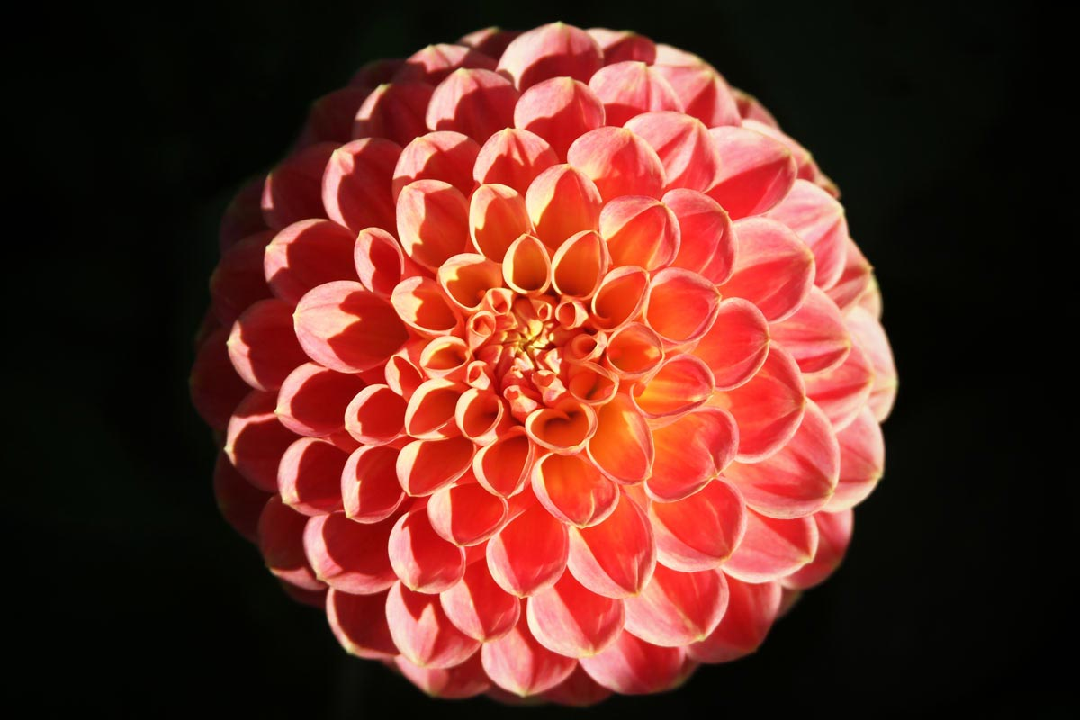 An orange, pink and yellow ball dahlia seen centered in the sun with a black background at the Dahlia Garden near the Conservatory of Flowers at Golden Gate Park in San Francisco, California.