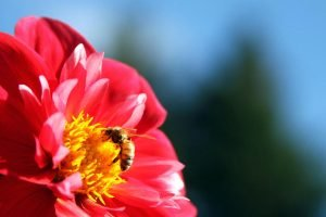 A honeybee feeds on a dahlia flower at the Dahlia Garden near the Conservatory of Flowers at Golden Gate Park in San Francisco, California.