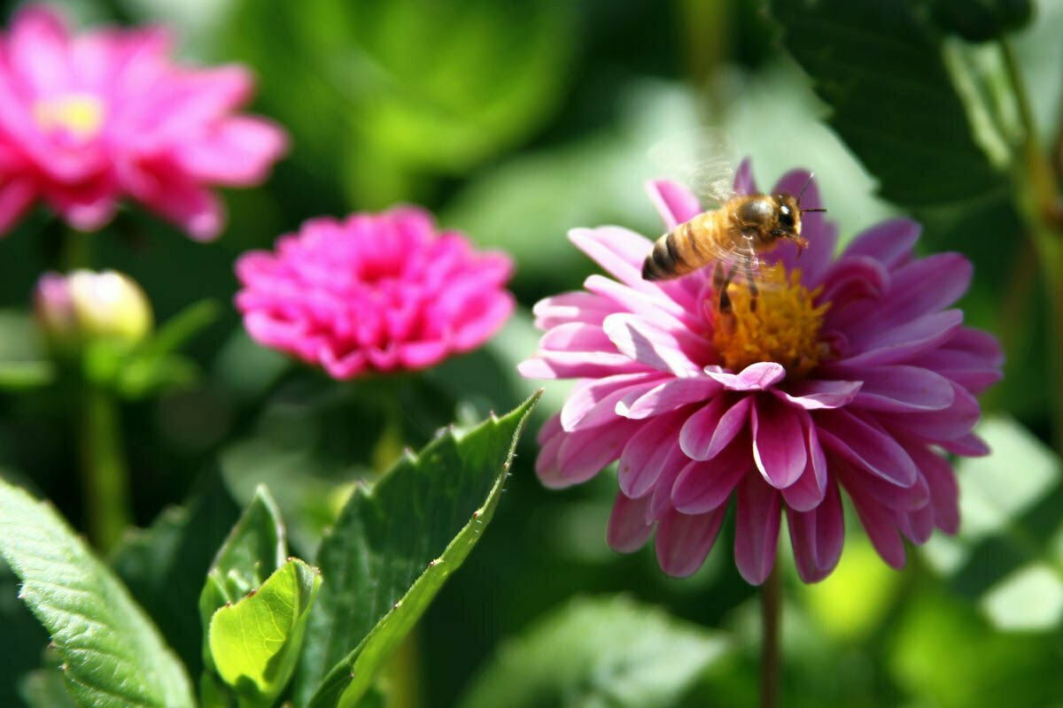 A honey bee takes off a pink and purple dahlia at the Dahlia Garden near the Conservatory of Flowers at Golden Gate Park in San Francisco, California.