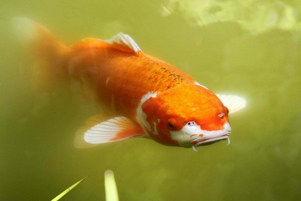 A large orange and white koi (japanese carp) seen at the Japanese Tea Garden in San Francisco, California.