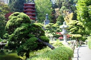 A tree leans over the pond in Japanese Tea Garden in San Francisco, California.