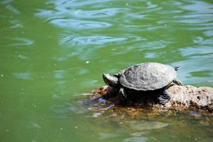 A small turtle rests in the sun on a rock in Golden Gate Park in San Francisco.