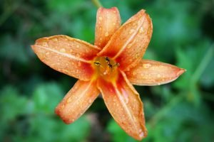 Water drops sit on the petals of an orange daylily.
