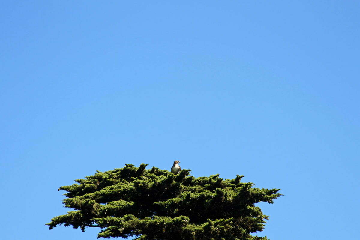 An alert red-tailed hawk sits in the top of a tree in San Francisco, California.