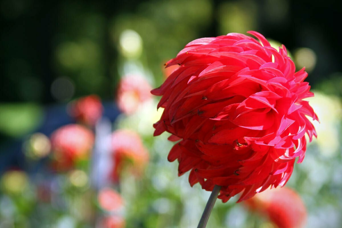 A wind swept red dahlia is seen from the side near the Conservatory of Flowers at Golden Gate Park in San Francisco, California.
