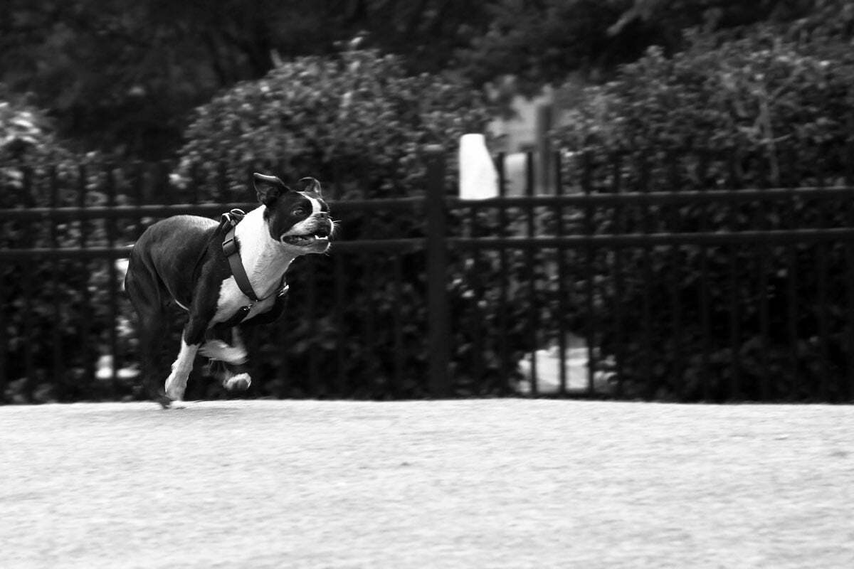 A black and white photo of a Boston Terrier mix running in a dog park.