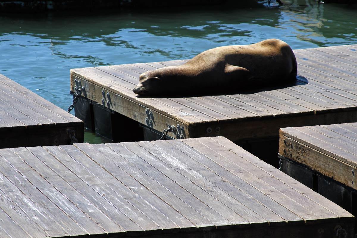 A solitary sea lion sleeps in the sun near Pier 39 in San Francisco, California.
