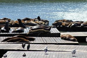 A large group of sea lions bask in the sunlight on barges near pier 39 in San Francisco, California.