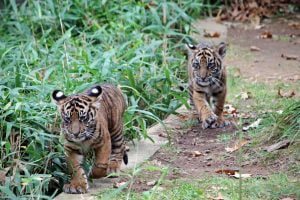 Two young tiger cubs run along a ledge in line at the National Zoo in Washington DC.