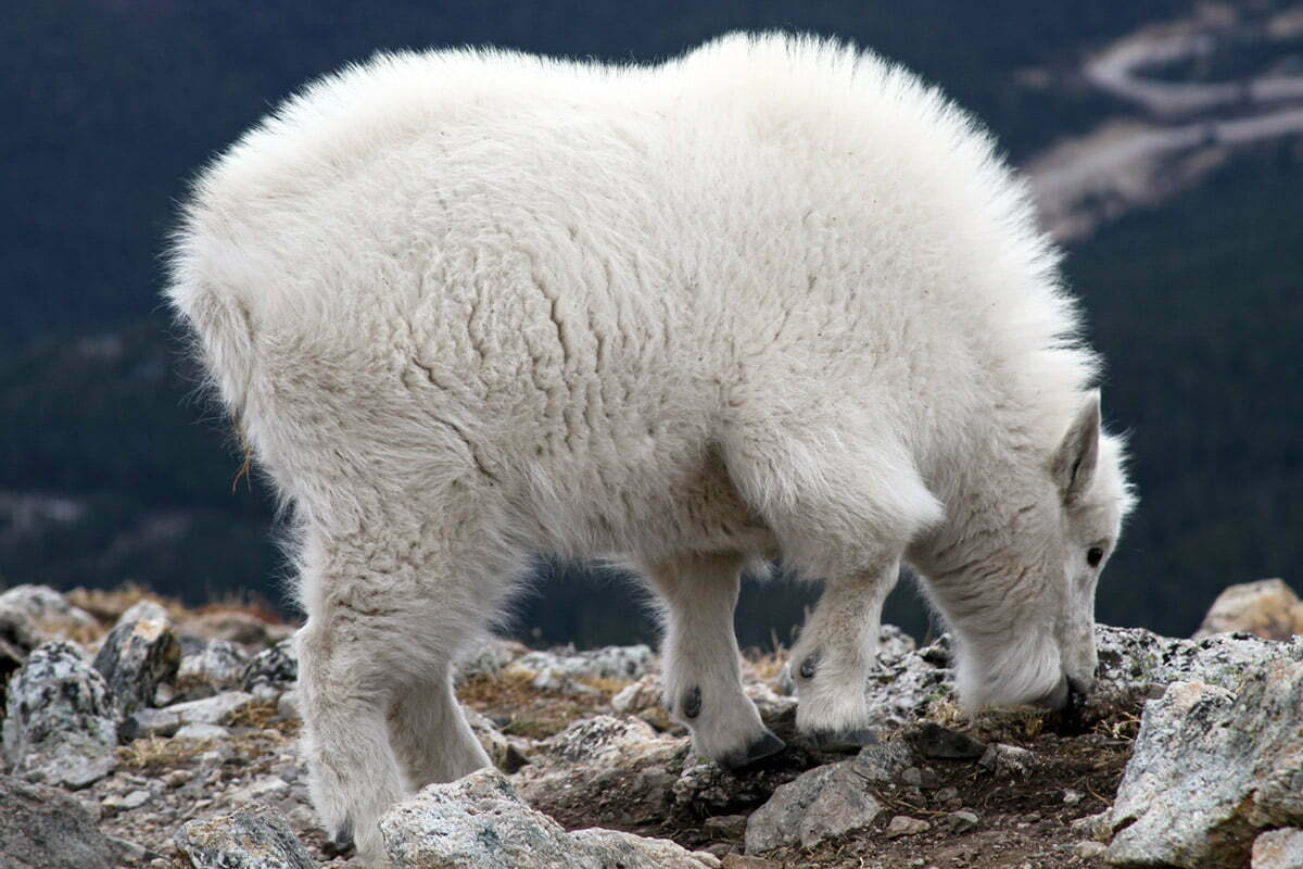 A puffy white baby mountain goat licks rocks on a hike in Colorado.