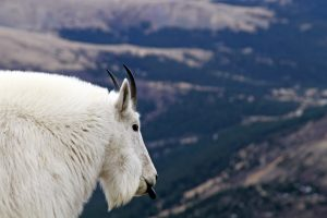 A white mountain goat with horns sticks out her black tongue on a hike in Colorado.