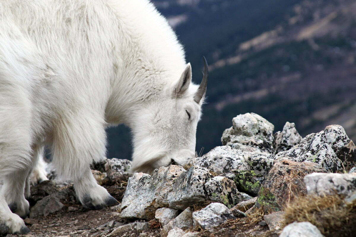 A large white mountain goat with small horns closes her eyes while licking a rock.