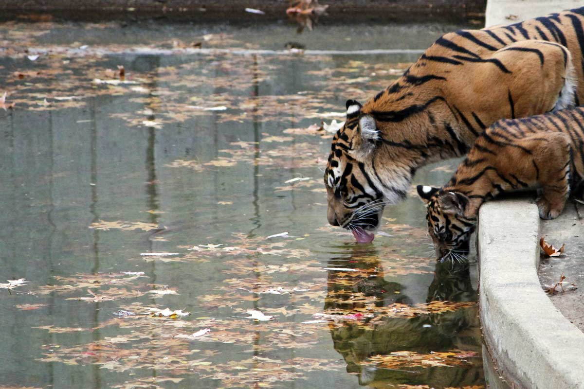 A tiger mother and her cub lap up water together at the National Zoo in Washington DC.