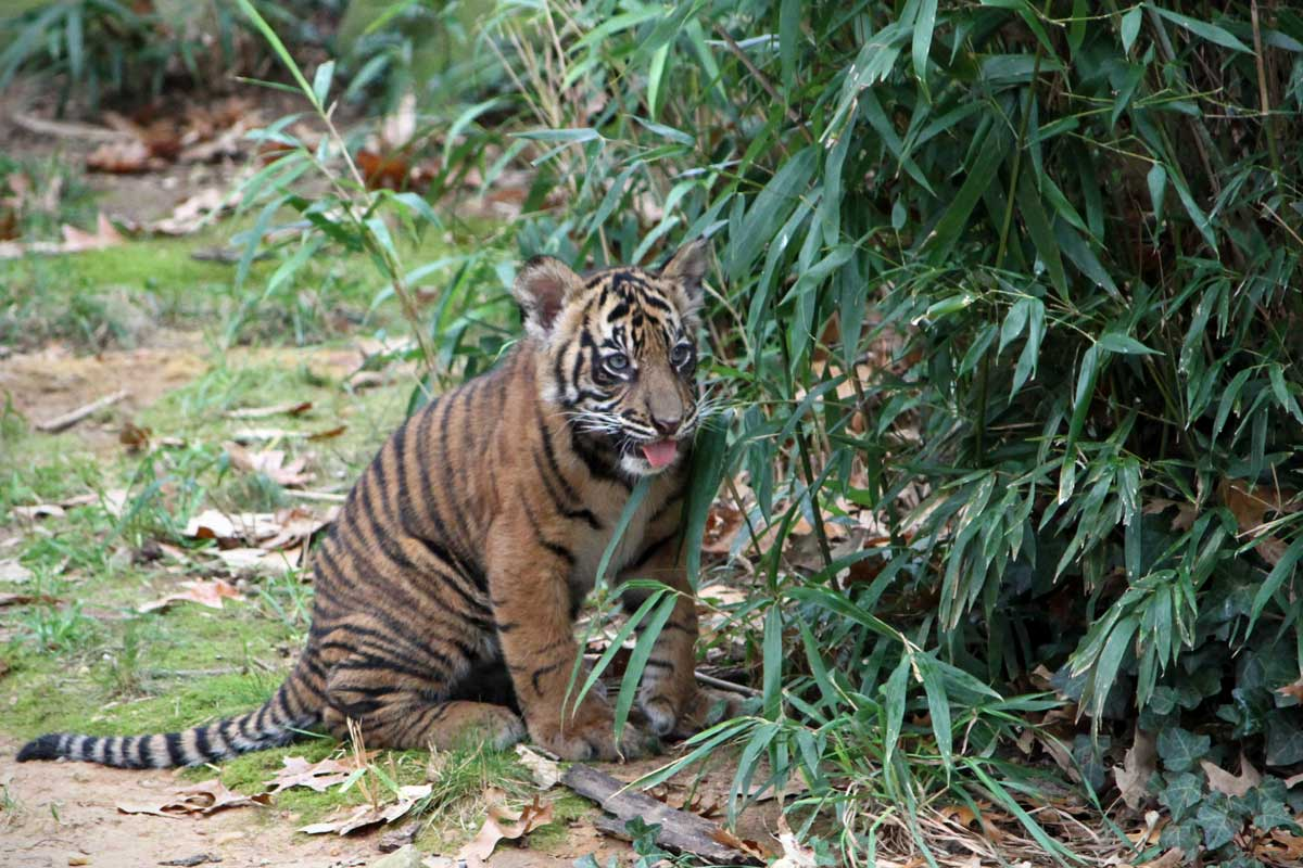 A young black and orange tiger cub sticks his tongue out as he looks around the corner of some foliage in the National Zoo of Washington DC.