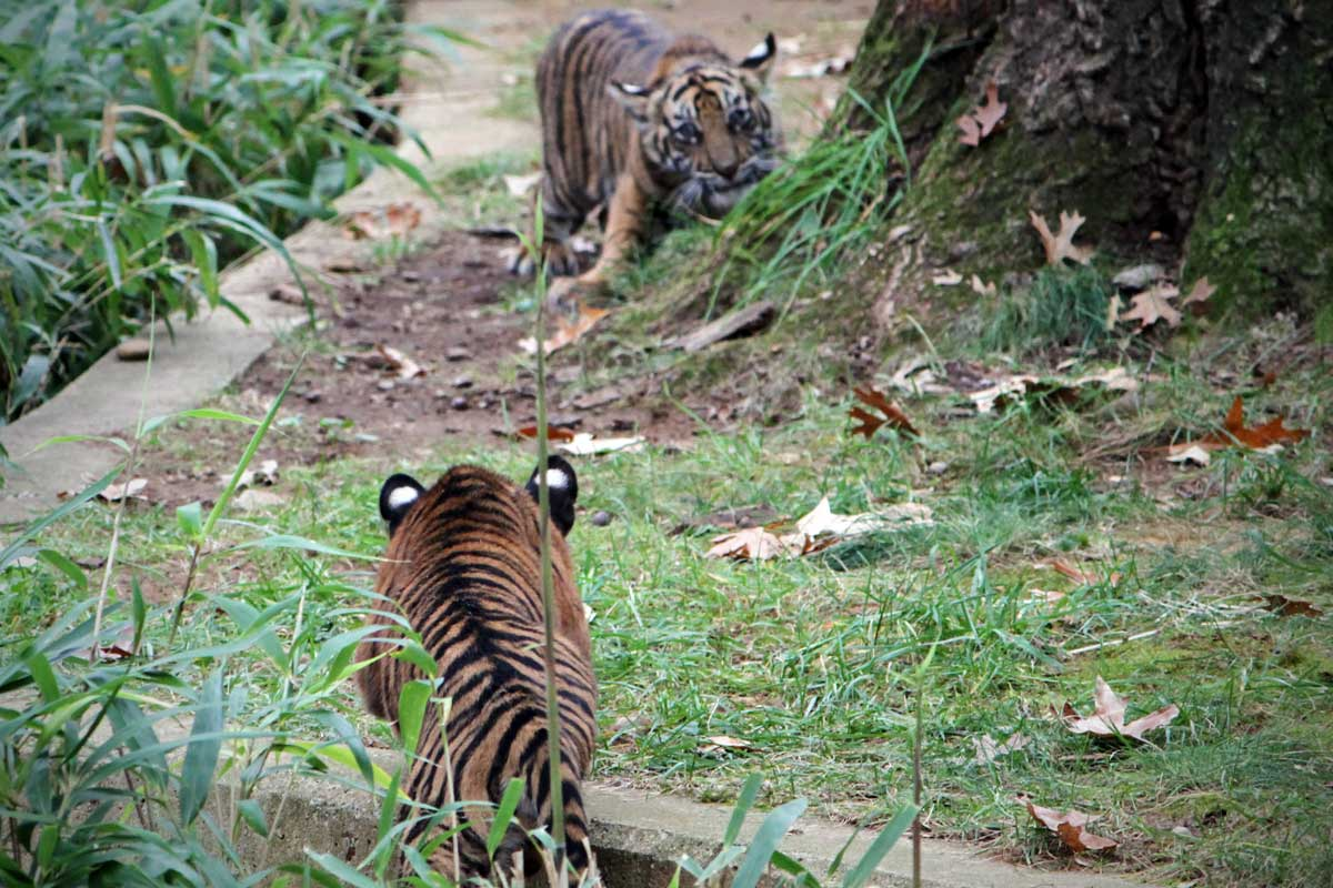 Two young tiger cubs stalk each other with eyes locked and bodies low to the ground at the National Zoo in Washington DC.