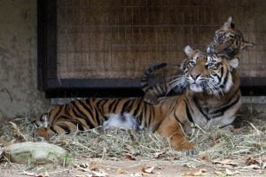 A tiger cub plays on the head of her mother at the National Zoo in Washington DC.