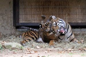 A young tiger cub gets toss off the head of its mother at the National Zoo in Washington DC.