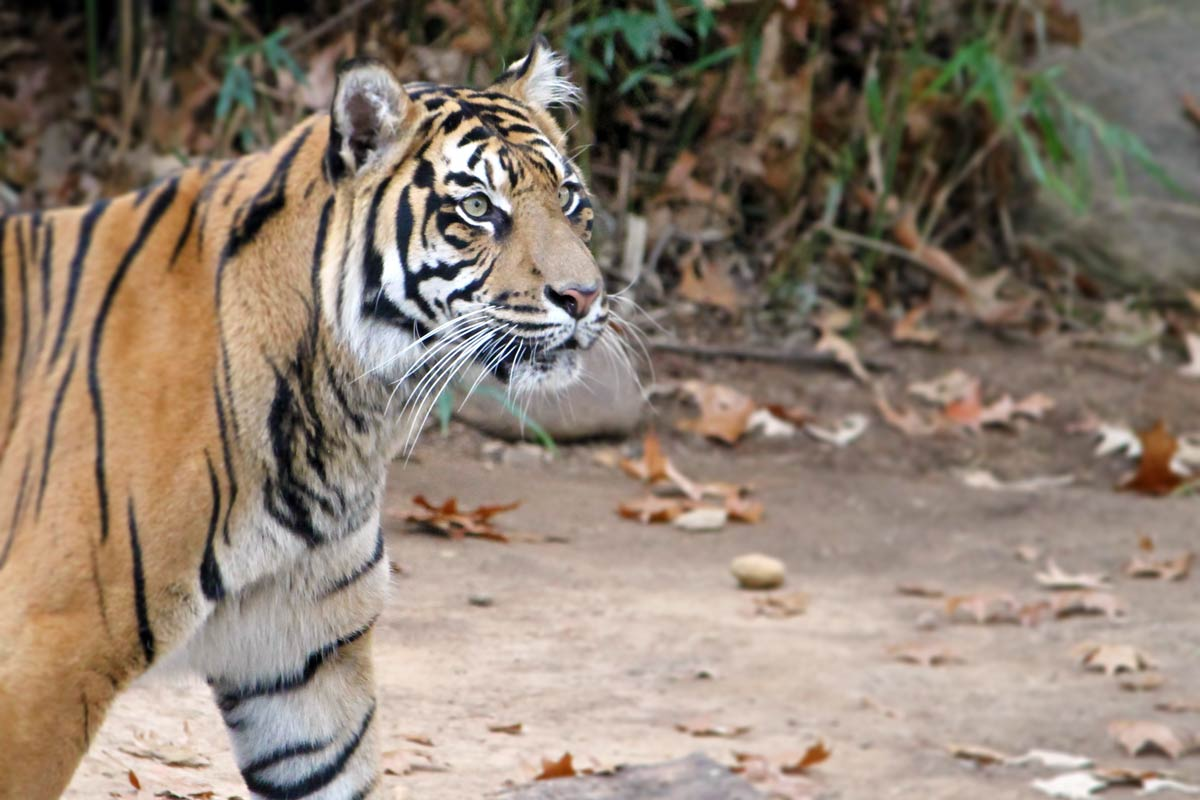 A tiger looks into the distance at the National Zoo in Washington DC.