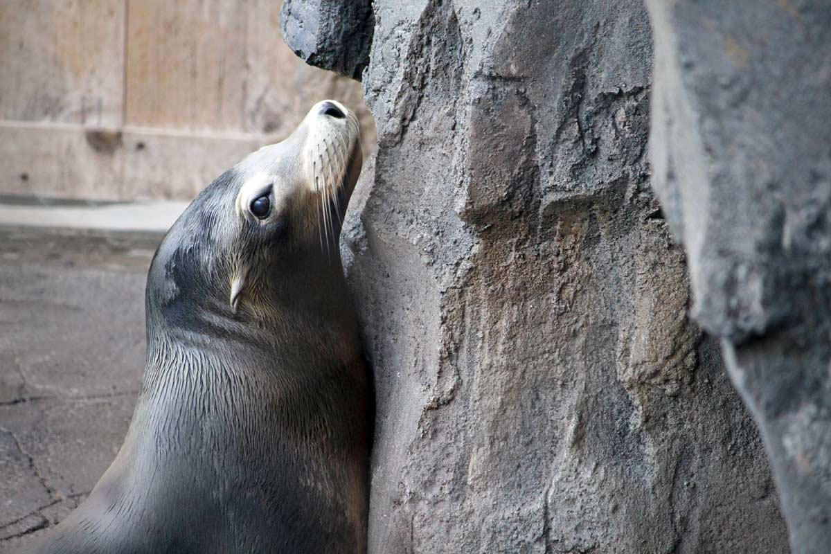 A california sea lion leans against the rocks and looks sideways on the American Trail at the National Zoo in Washington DC.
