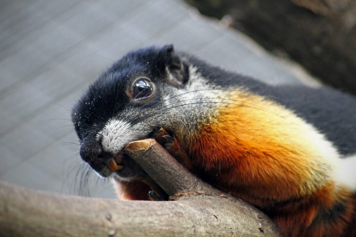 A Prevost's squirrel, also known as Callosciurus prevostii or Asian tri-colored squirrel, gnawing on a tree limb at the National Zoo in Washington DC.