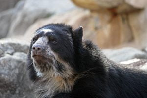 A spectacled or andean bear looks skeptically at visitors to the National Zoo in Washington DC.