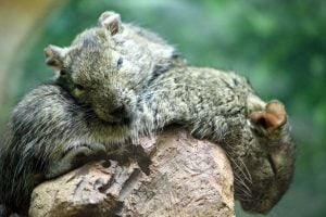 A degu rodent rests his head on a friend and sleeps at the National Zoo in Washington DC.