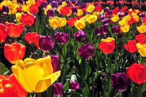 A field full of red, yellow and purple tulips seen in spring in Washington DC.