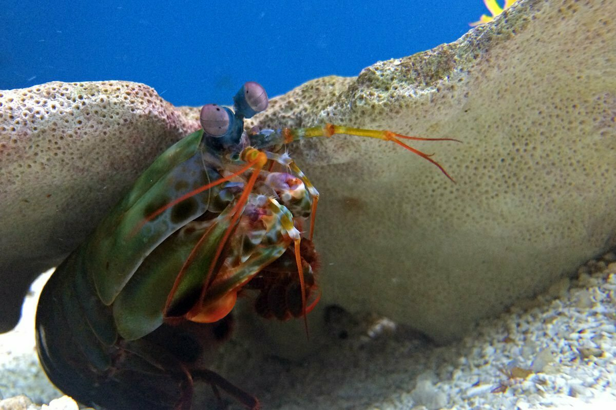 A colorful mantis shrimp peeks out from a rock at the National Zoo in Washington DC.