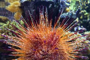 A sea urchin with yellow, orange and many other colors seen at the Shedd Aquarium in Chicago, Illinois.