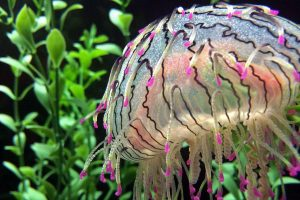 A colorful flower hat jellyfish (Olindias formosa) seen at the Shedd Aquarium in Chicago, Illinois.