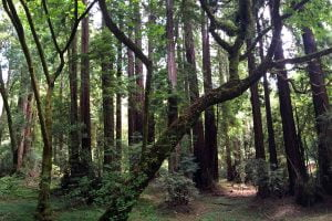 The lush forest floor at the Muir Woods National Monument in California.