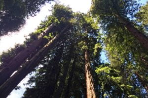 Redwood trees and blue sky at the Muir Woods National Monument in California.