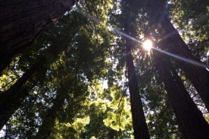 A lens flare from the sunlight as it shines down through the redwoods in the Muir Woods National Monument.