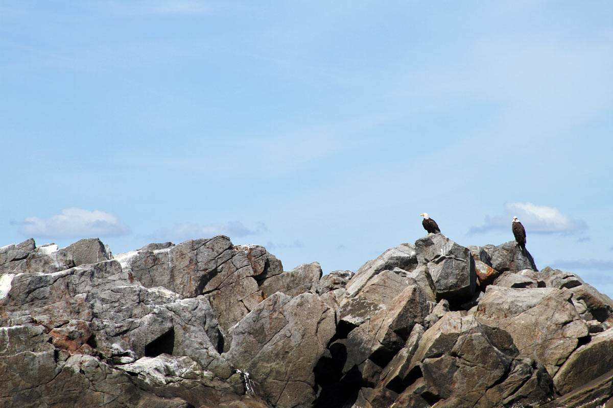 Two bald eagles stand on a rocky outcropping off the coast of Maine.