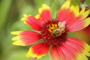 A bee covered in pollen lands on a red, yellow and pink flower at the Smithsonian Conservation Biology Institute in Front Royal, Virginia.