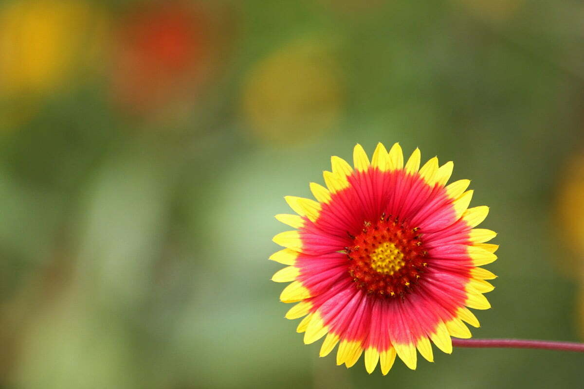 A red, pink and yellow flower at the Smithsonian Conservation Biology Institute in Front Royal, Virginia.