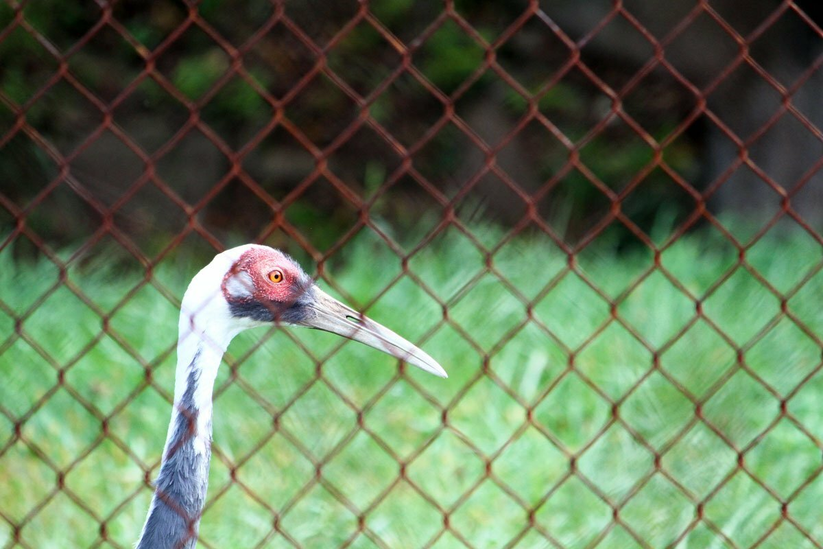 A white-naped crane named Walnut is seen behind a fence at the Smithsonian Conservation Biology Institute in Front Royal, Virginia.