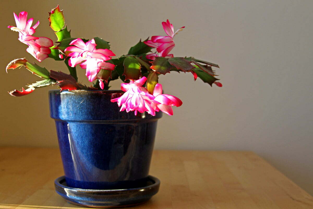A Christmas Cactus, also known as a Holiday Cactus or Schlumbergera, displayed bright pink and white flowers in a blue pot on a wood table.