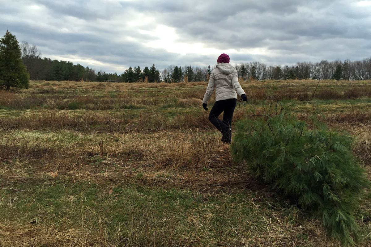 A woman drags a freshly cut pine tree across a grassy landscape on a cloudy day.