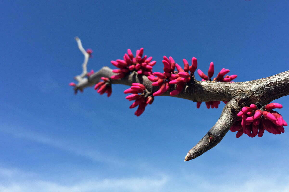 A tree branch begins to blossom during springtime in Washington DC.