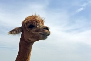 An alpaca stands and looks into a camera with a background of a blue sky.