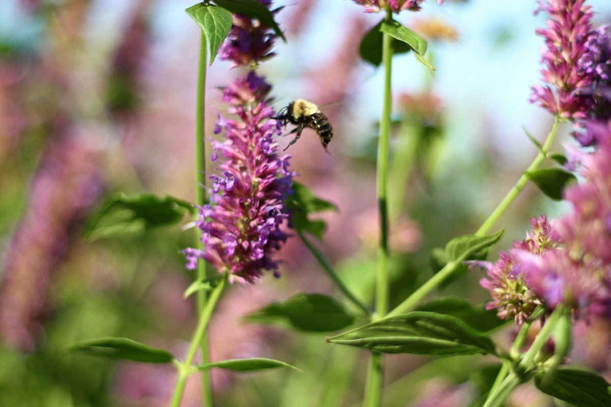 A black and yellow bee eagerly arrives on a purple flower to begin its pollination duties.