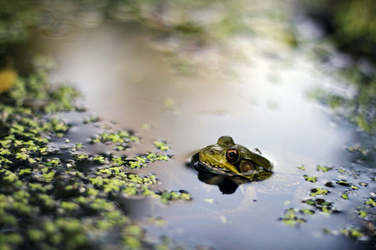 A calm frog hangs out in a pond in Maine ignoring the photographer and the mosquito on its back.