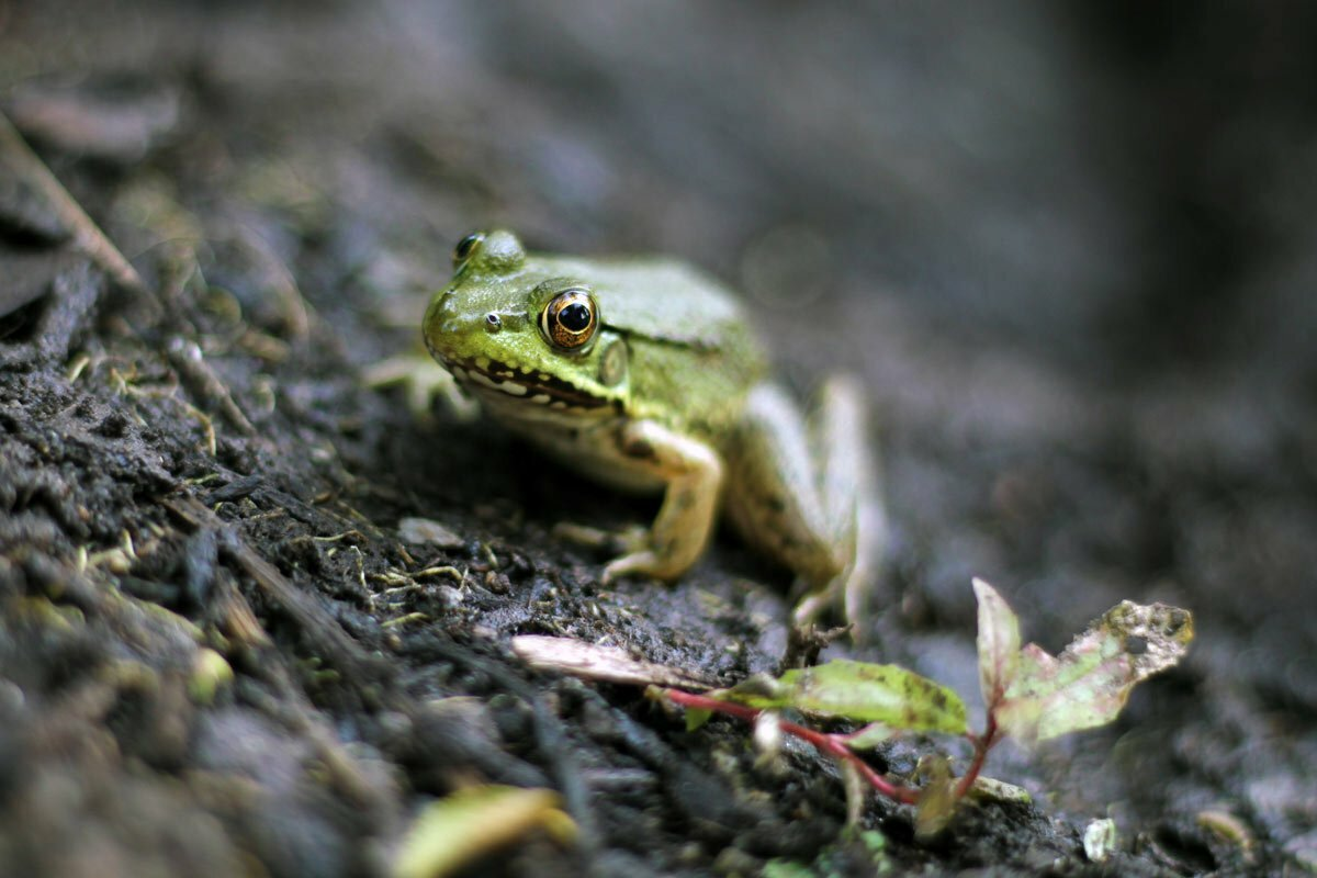 A calm frog sits on the dirt bank of a pond ignoring the photographer inching closer to take a portrait.