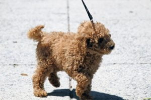 A golden doodle puppy goes for a walk on a leash.