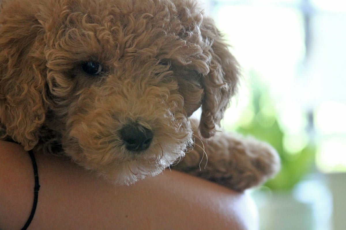 A blond golden doodle puppy looks at the camera while being held.